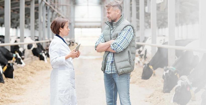 Jak zapobiegać mastitis u krów po wycieleniu?