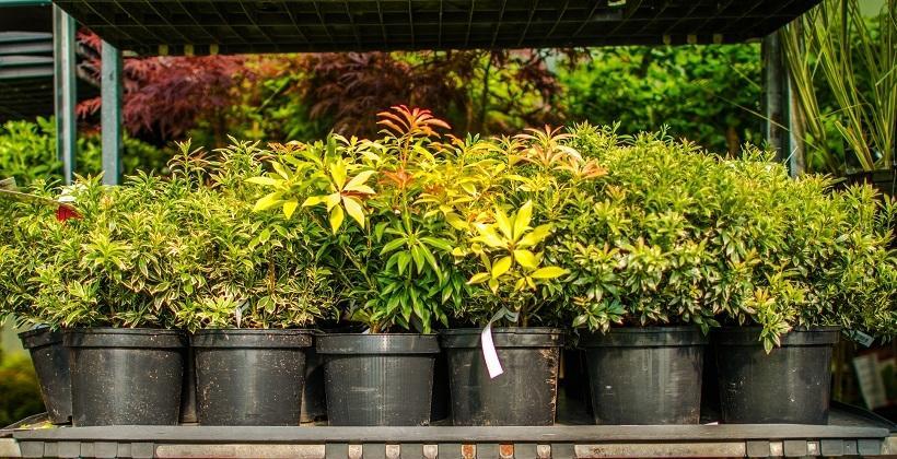Jak działają szkółki krzewów ozdobnych?