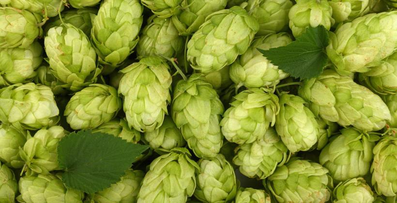 Niepowtarzalny smak i zapach piwa dzięki odpowiednim chmielom