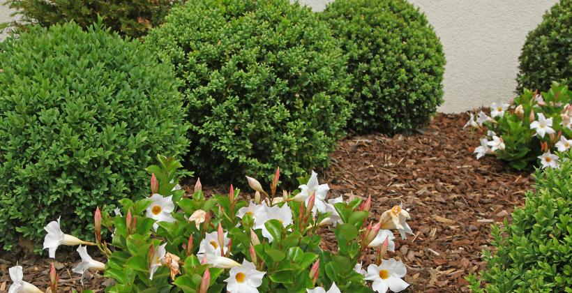 Sposoby zastosowania kory sosnowej w ogrodzie