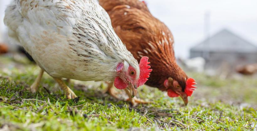 Jaką kurę kupić - czym się kierować wybierając nioskę?