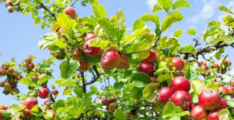 Pyszne polskie jabłka…