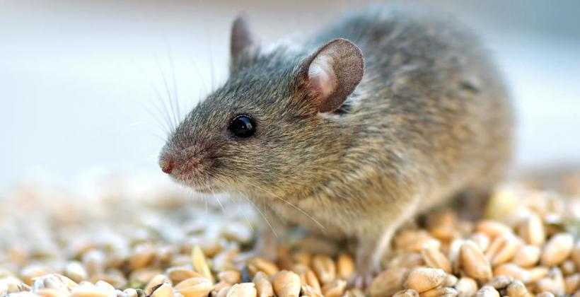 Jak skutecznie pozbyć się myszy?
