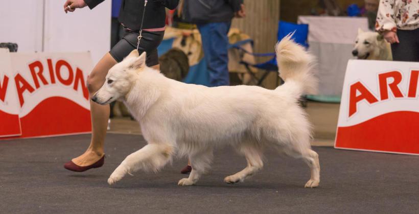 Jak przygotować psa do wystawy?