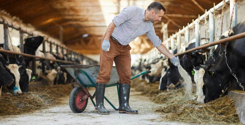 Żywienie krów mlecznych