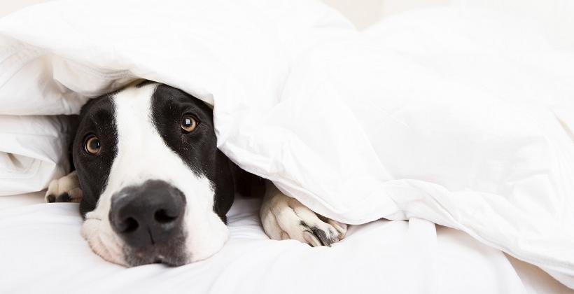 Dlaczego warto kupić psu poduszkę?