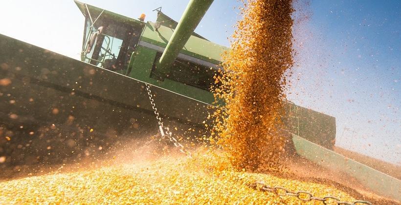 Kukurydza ziarnowa i kiszonkowa. Porównanie