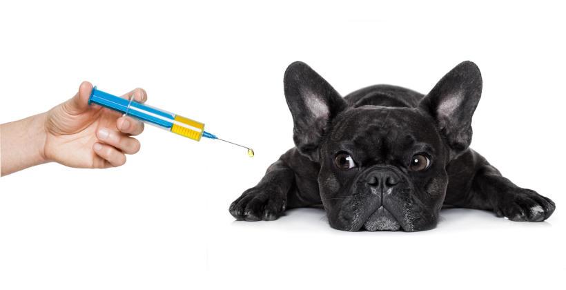 Jak przygotować psa do szczepienia?
