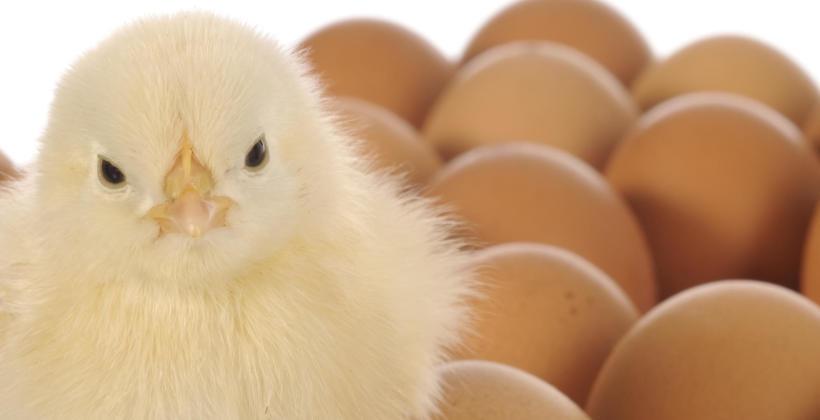 Sztuczna inkubacja jaj – co warto o niej wiedzieć?