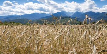Czym się kierować przy wyborze odmian pszenicy?
