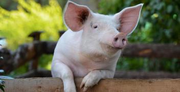 Dlaczego warto stosować dodatki paszowe dla świń?