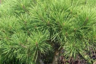 Jakie jest zastosowanie iglaków w przydomowym ogrodzie?