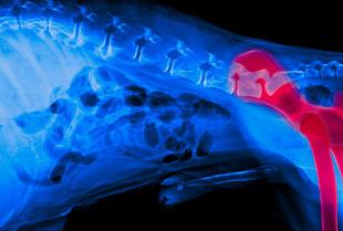 Leczenie dysplazji u psów w lecznicy weterynaryjnej MIRAK