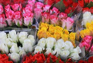 Co w naszej kulturze oznaczają poszczególne odmiany kolorystyczne róż?