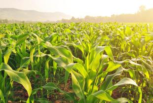 Kiedy i w jaki sposób należy siać kukurydzę w polskim klimacie?