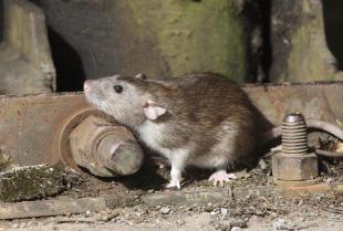 Szczury w miastach