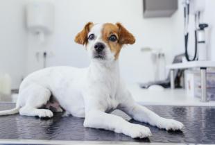 Harmonogram szczepień psa