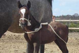 Jak wyszkolić młodego konia?
