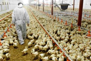 Hodowla drobiu – podstawowe założenia bioasekuracji