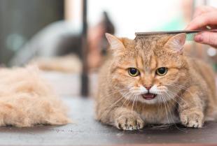 Czy strzyżenie kota jest konieczne? Kiedy warto to robić?