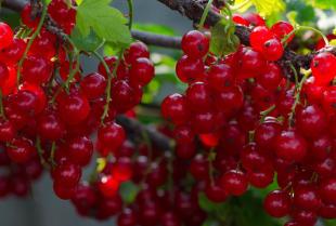 Krzewy i drzewa owocowe, czyli nie tylko pięknie, ale i smacznie